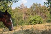 scots-pine-forest-near-geoagiu