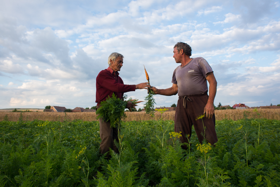 harvesting-carrots-near-dozsa-gyorgy-gheorghe-doja-