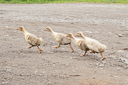 goslings-at-markod-marculeni-