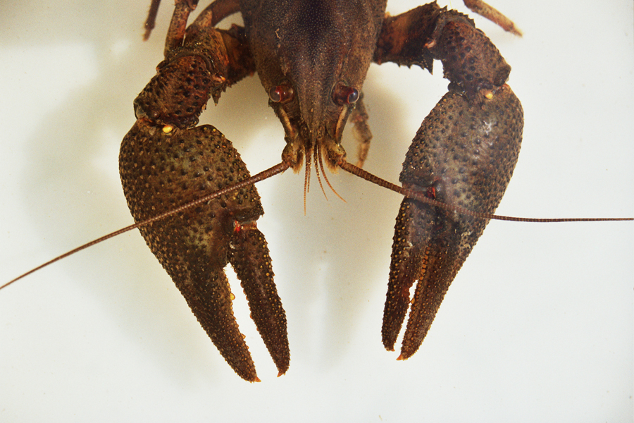 crayfish-sandominic-2005
