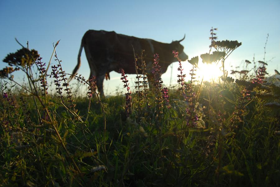 a-cow-from-a-grashopper-s-perspective-in-vintu-de-jos-2010